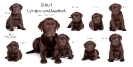 B-Wurf Labbies vom Heuselbach_1